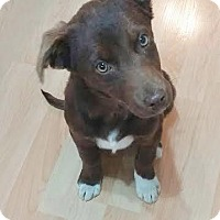 Labrador Retriever/Border Collie Mix Puppy for adoption in Saskatoon, Saskatchewan - Genny