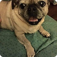 Pug Mix Dog for adoption in Fairmont, West Virginia - Pearl
