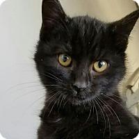 Adopt A Pet :: Victoria - Monrovia, CA