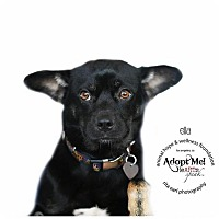 Adopt A Pet :: ELLA - Sherman Oaks, CA