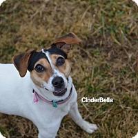 Adopt A Pet :: CinderBella - Independence, MO