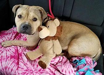 Pit Bull Terrier Dog for adoption in Dallas, Georgia - Cassie