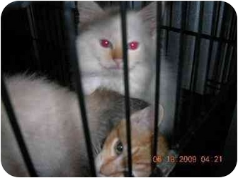 Domestic Longhair Kitten for adoption in Union, South Carolina - Sweet things