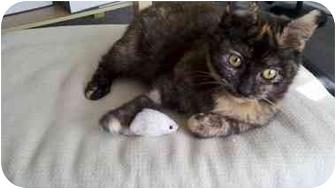 Domestic Shorthair Kitten for adoption in Davis, California - Autumn