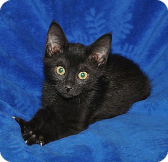 Domestic Shorthair Kitten for adoption in Richmond, Virginia - Cola