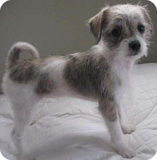 Maltese/Jack Russell Terrier Mix Puppy for adoption in Mission Viejo, California - LAINEY