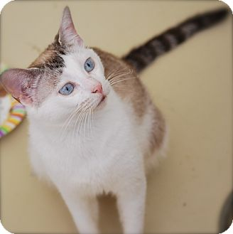 Siamese Cat for adoption in Bensalem, Pennsylvania - China