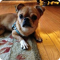 Adopt A Pet :: Brody - Bowie, MD