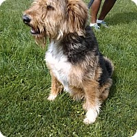 Airedale Terrier Mix Dog for adoption in East Smithfield, Pennsylvania - Colby