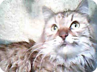 Maine Coon Cat for adoption in Eugene, Oregon - CA - Winnie (MCR)