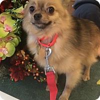Adopt A Pet :: Cheeto - Oak Ridge, NJ