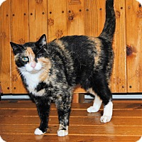Domestic Shorthair Cat for adoption in Parsons, Kansas - Calli