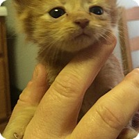 Domestic Shorthair Kitten for adoption in Baltimore, Maryland - Snoopy (Stoop)