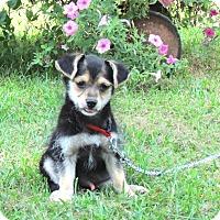Adopt A Pet :: GIBBY - Bedminster, NJ