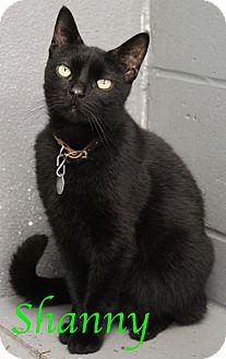Domestic Shorthair Cat for adoption in Bradenton, Florida - Shanny