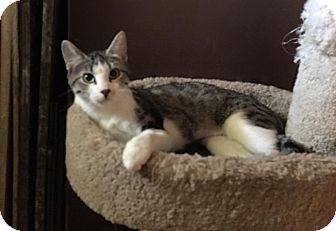Domestic Shorthair Cat for adoption in Loveland, Colorado - Princess