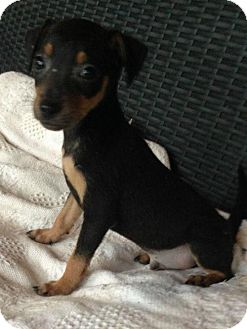 Rat Terrier Mix Puppy for adoption in Albany, New York - Samson