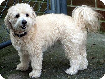 Bichon Frise/Poodle (Miniature) Mix Dog for adoption in Suffolk, Virginia - Bailey
