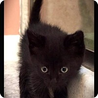 Domestic Shorthair Kitten for adoption in Hartford City, Indiana - Sam