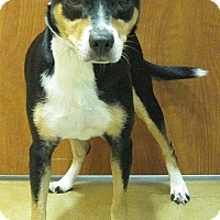 Adopt A Pet :: 376530 Diamond - San Antonio, TX