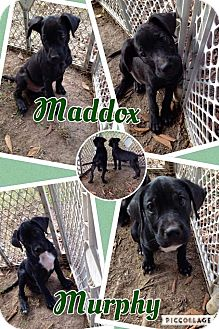 Labrador Retriever Mix Puppy for adoption in Lexington, North Carolina - Maddox