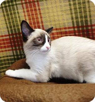 Siamese Kitten for adoption in Apple Valley, California - Carli #159867