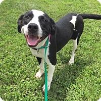 Pit Bull Terrier Mix Dog for adoption in Joplin, Missouri - Breanna  4898