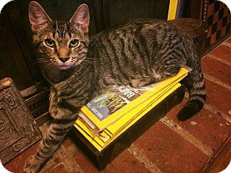 Domestic Shorthair Kitten for adoption in Burlington, North Carolina - CAMDEN
