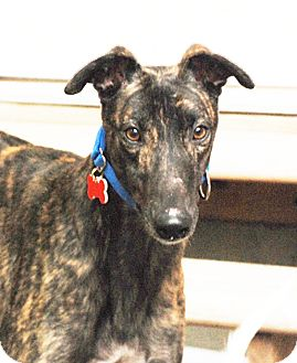 Greyhound Dog for adoption in Ware, Massachusetts - Fired Up