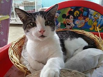 Domestic Shorthair Cat for adoption in Iroquois, Illinois - Trapper