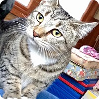 Domestic Shorthair Kitten for adoption in Franklin, Indiana - Kricket