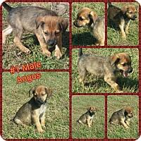 Adopt A Pet :: Angus meet me 12/16 - Manchester, CT