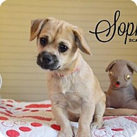 Adopt A Pet :: Sophie - Willingboro, NJ