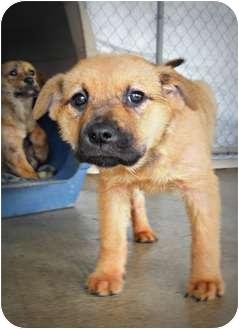 American Pit Bull Terrier/Chow Chow Mix Puppy for adption in Ridgeland ...