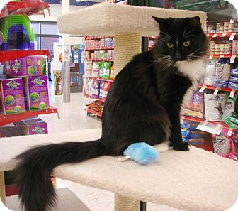 Domestic Longhair Cat for adoption in Fountain Hills, Arizona - BUTLER