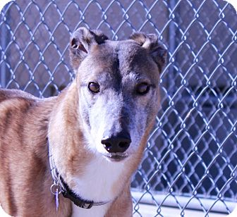 Greyhound Dog for adoption in Tucson, Arizona - Harley