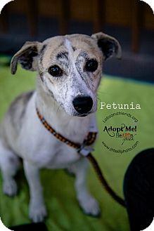 Petunia Adopted Dog Burbank Ca Jack Russell Terrier Italian Greyhound Mix