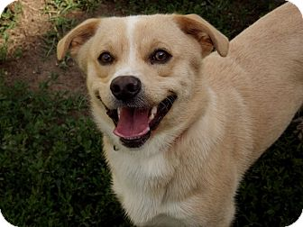 Corgi Mix Dog for adoption in Fort Riley, Kansas - Pauly