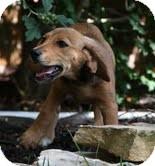 Beagle/Dachshund Mix Puppy for adoption in Allentown, Pennsylvania - Goldie