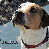 Adopt A Pet :: Pumba - Justin, TX