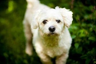 Lhasa Apso/Terrier (Unknown Type, Medium) Mix Dog for adoption in Bloomington, Indiana - Roscoe