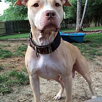 American Pit Bull Terrier/Labrador Retriever Mix Dog for adoption in O'Fallon, Missouri - Freyja