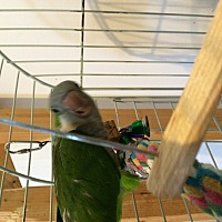 Parakeet - Quaker for adoption in Punta Gorda, Florida - Jazzy