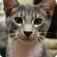 Domestic Shorthair Kitten for adoption in McDonough, Georgia - Maxie