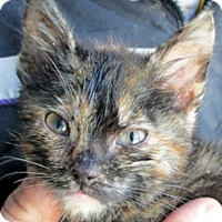 Adopt A Pet :: Twizzler - Germantown, MD