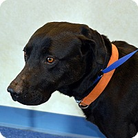 Adopt A Pet :: Chief - Yorktown, VA