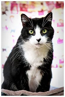 Domestic Shorthair Cat for adoption in Middletown, New York - Patti Cake