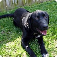 Adopt A Pet :: Marcus - Purcellville, VA