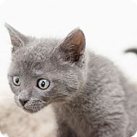 Adopt A Pet :: Stevo - Fountain Hills, AZ