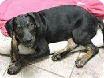 Labrador Retriever/Retriever (Unknown Type) Mix Puppy for adoption in Cottonport, Louisiana - Rambo